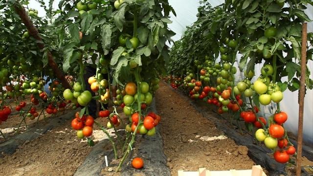 Syngenta postala vodeća semenska kuća u našoj prestonici povrtarstva