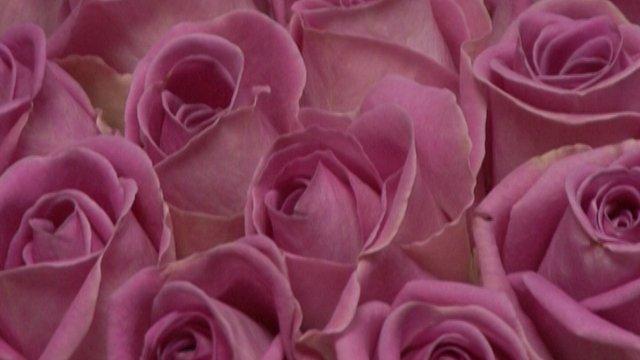 Evo kako izgleda jedna uspešna plantaža ruža