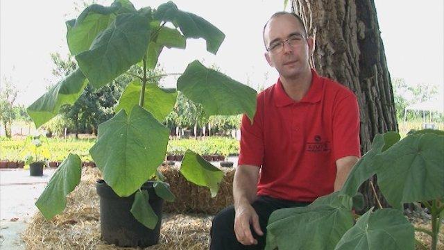 Nekoliko saveta za gajenje stamene paulovnije!