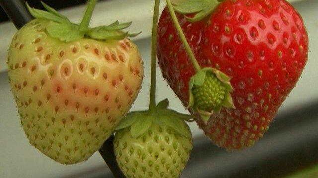 VIDEO VODIČ: Kako da odgajite sočne jagode