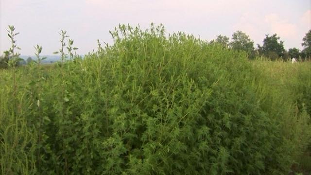 Ambrozija – jedna od najnepoželjnijih biljaka na našim imanjima!