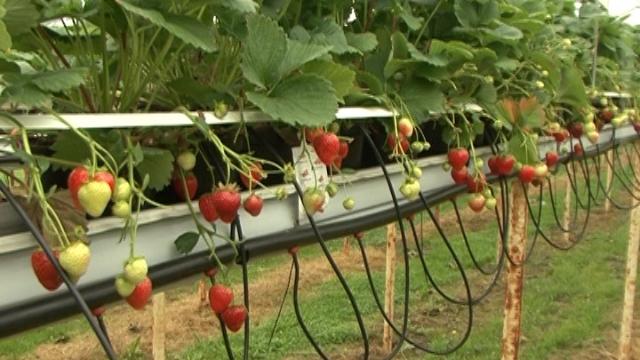 Kako se u Holandiji proizvode nove sorte jagoda?