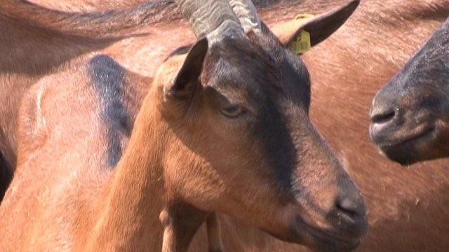 Stado koza daje 1.000 litara mleka dnevno – fabrika zdravlja u Čeneju