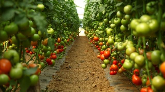 Sa prinosom koji daje sorta paradajza La moneda ka Evropi se brže korača