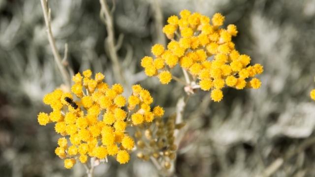 Kako gajiti biljku besmrtnosti – smilje
