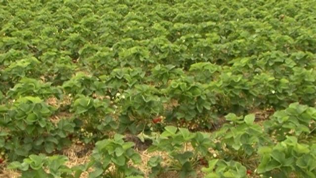 Rasadnik bezvirusnih sadnica jagoda u Holandiji