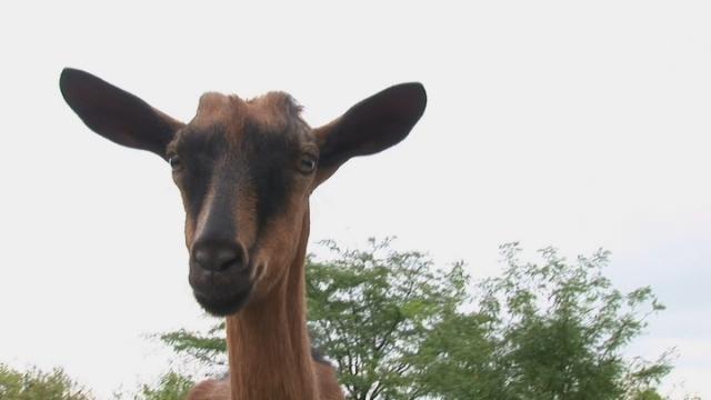 Gaji Alpino rasu koza zbog mleka i mlečnih proizvoda