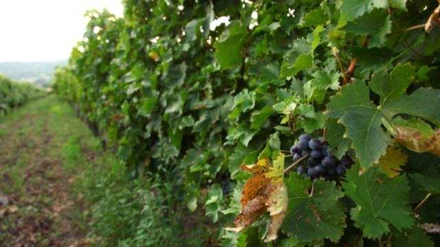 Vinogradar za primer iz sela Stragari