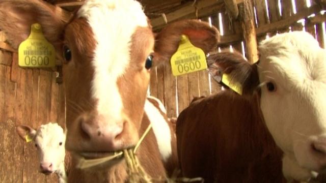 Vesti - Centri za veštačko osemenjavanje - šansa za razvoj stočarstva