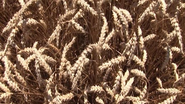 Pogledajte zašto ratari i ove godine seju pšenicu Nikol!