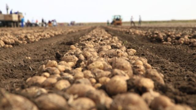 Kakav je ovogodišnji rod i kvalitet krompira u Srbiji?