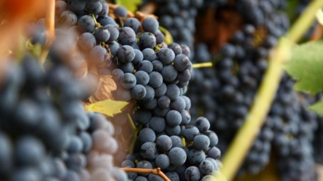 Vinogradari i vinari sa tradicijom - porodica Ćosić