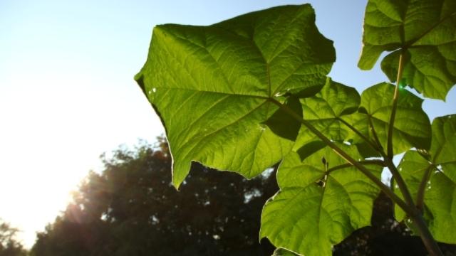 Paulovnija - brzorastuće magično drvo!