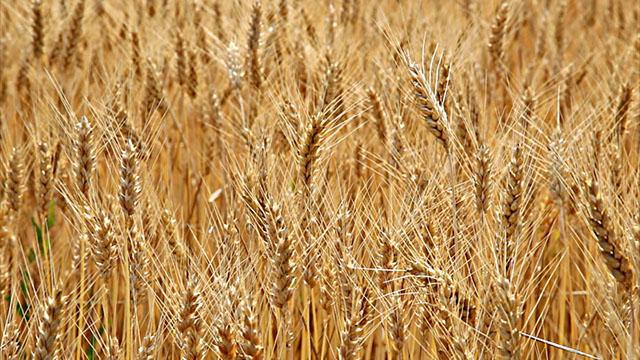 Setva pšenice u Bavaništu