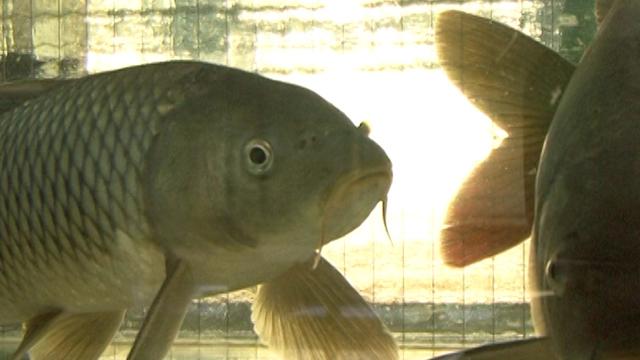 Vesti – Subvencije za rekonstrukciju postojećih i podizanje novih ribnjaka u Vojvodini