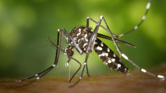 Da li znate da je azijski tigrasti komarac jedan od 6 najopasnijih na svetu?