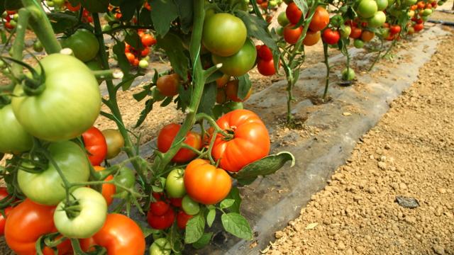 Jesenje skladištenje paradajza