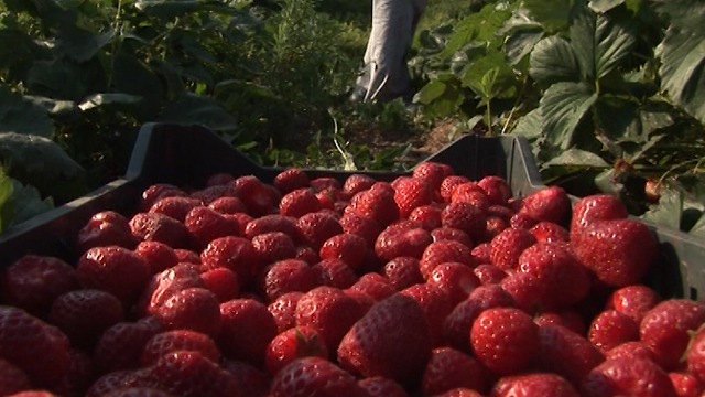 Pravilno gajenje jagode u zimskim mesecima
