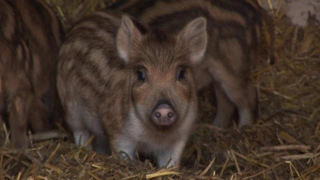 Kako žive divlje svinje u domaćim uslovima
