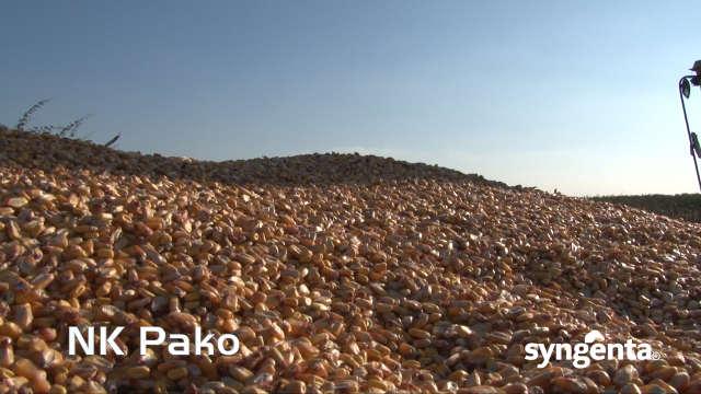 Syngenta hibridi kukuruza – NK Pako