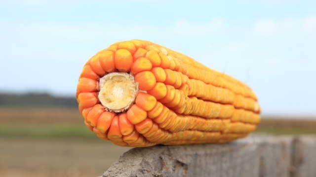 Kakvo je učešće semenskih kuća na tržištu kukuruza