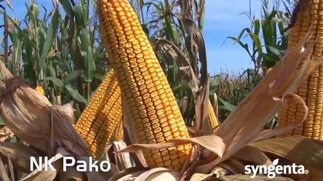 Hibrid kukuruza NK Pako - žirant u biljnoj proizvodnji