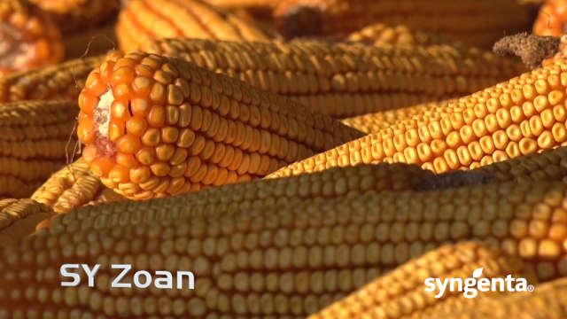 Syngenta hibridi kukuruza – SY Zoan