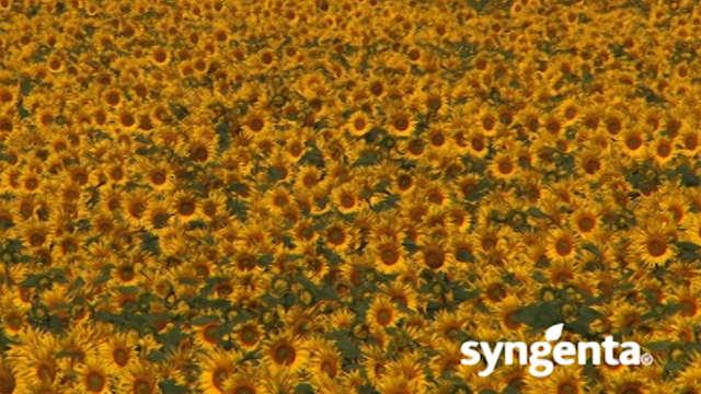 Syngenta hibridi suncokreta – NK Neoma - za dobar prinos