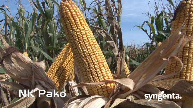Hibrid kukuruza NK Pako - uvek siguran