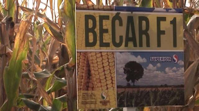 Superior – hibrid kukuruza Bećar - dobar za sušu, vlagu, ali i naš džep