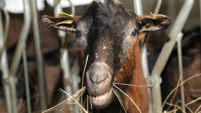 Istraživali smo: Kako stado od 900 koza živi po zakonima organske proizvodnje