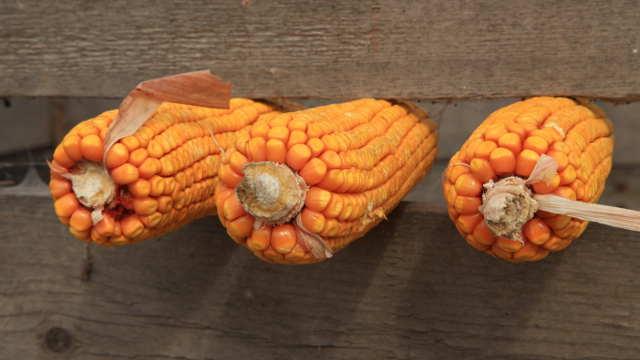 Superior – hibrid kukuruza Bećar – i komšije ga žele!