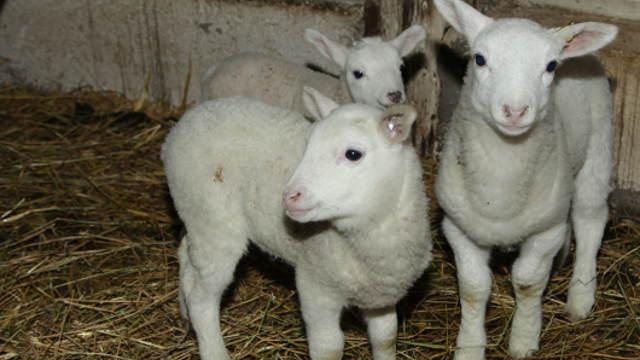 Pogledajte kako protiče jagnjenje na najvećoj organskoj farmi ovaca u Srbiji