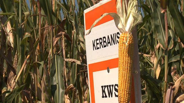 KWS hibrid kukuruza Kerbanis - odgovara zahtevima tržišta