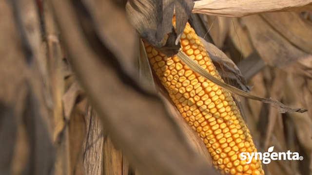 Syngenta hibridi kukuruza – isplati se sejati ih!