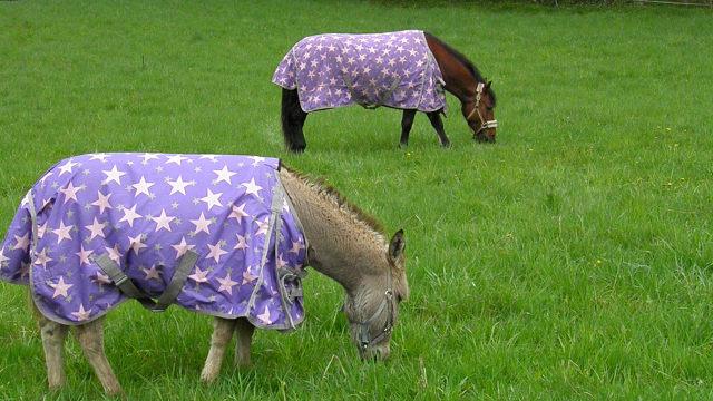 Životni put magarice Maze od Srbije do Norveške - nedostaje joj zelena trava doma njenog