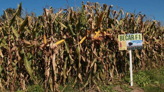 Predstavljamo vam karakteristike hibrida kukuruza Bećar