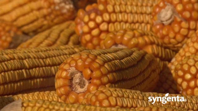 Syngenta hibridi kukuruza - NK Helico