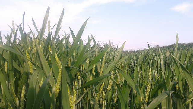 Sve što je neophodno da znate o prihrani pšenice