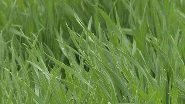 Prihranjivanje ozimih useva na teritoriji Braničevskog okruga - Važan odabir azotnog đubriva