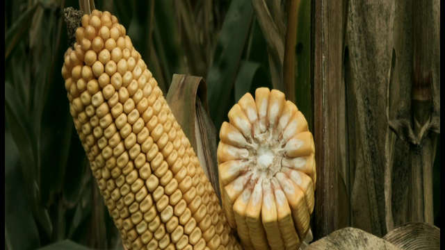 KWS hibridi kukuruza - Balasco