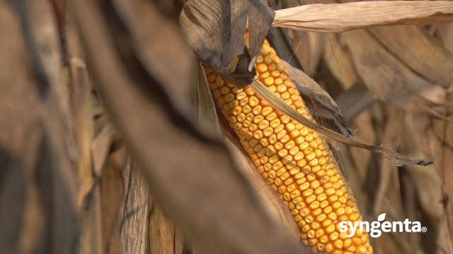 Hibrid kukuruza NK Pako - dobar i za branje i za krunjenje