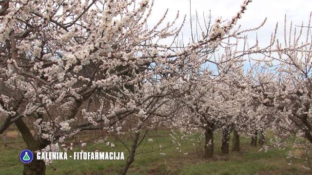 Galenika-Fitofarmacija - preparati za zaštitu voća
