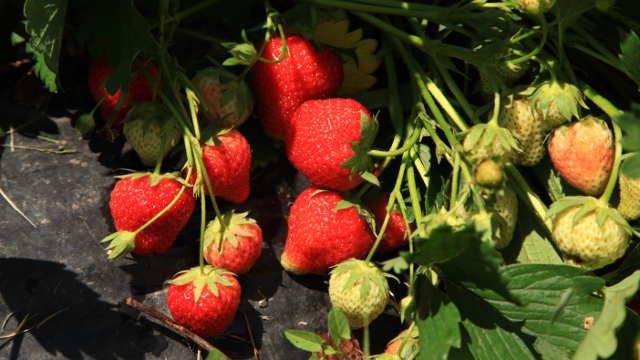 Nekoliko saveta za uspešno gajenje jagoda