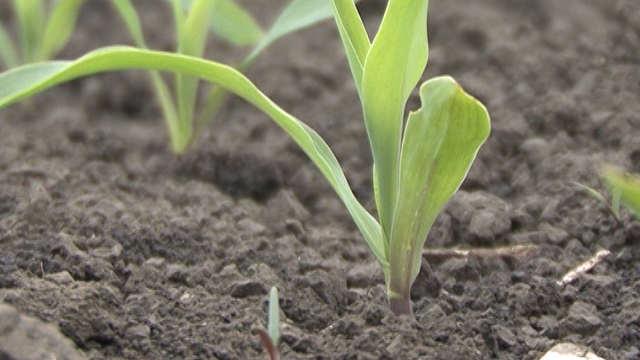Sistemični herbicidi - Koban® 600
