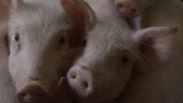 Saznajte kakvo je stanje u svinjarstvu u našoj zemlji!