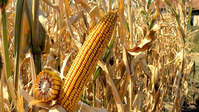 Hibrid kukuruza - KWS 3381 - odlično prihvaćen među ratarima