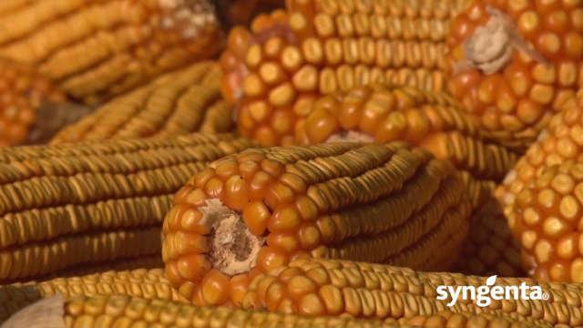 Hibrid kukuruza Helico - lep i za oko i za vagu