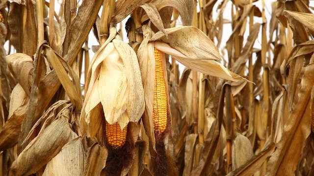Agrimax hibridi kukuruza - Zita