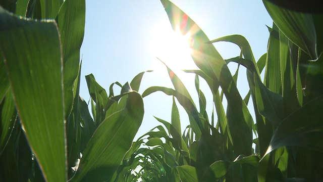 KWS hibrid kukuruza Balasco - za izuzetne rezultate